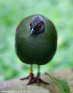 Green Morehen